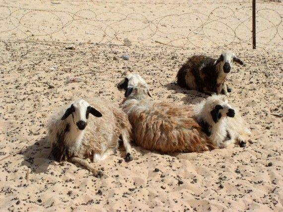 Schafe im Sinai
