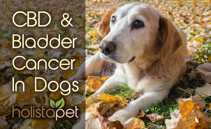 Recognizing the symptoms of Bladder Cancer in dogs early and getting the proper treatment is important to the survival of your pet. See how #HolistaPet #CBDfordogs has been used to help treat bladder cancer.