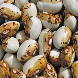 What a beautiful bean: the Hidatsa Shield is a Slow Food USA Ark of Taste bean.