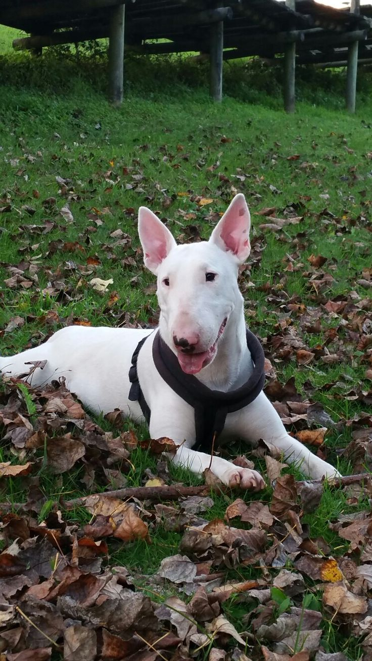 Pin by Terri Cournoyer on bull terriers in 2020 English