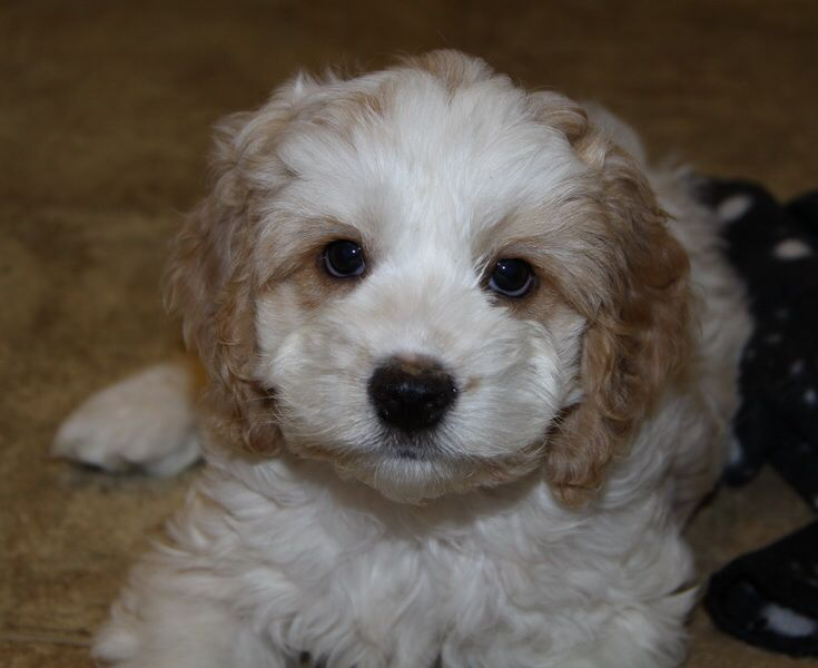 Cockapoo Puppies : Pups for sale : Puppies for sale in Ontario, Canada ...