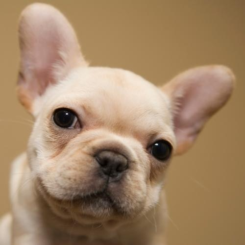 French Bulldog! that faccceeee