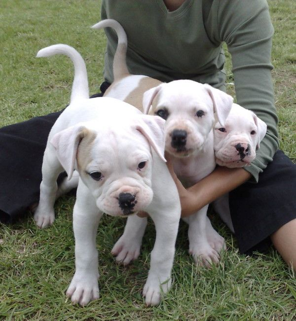 American Bulldog puppies | Kennel Marina's Blue