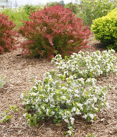 An In-Depth Look at Proven Winners Native Shrubs | Proven Winners