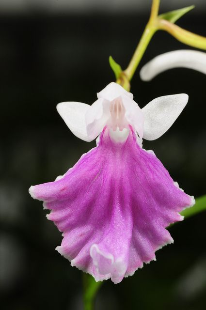'Orchid-Mimicry' by Ponerorchis species