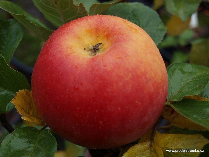Rubinola jabloň M7