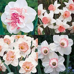 Tickled Pink Daffodil collection. PLant under snowball bush. (Sunny or partially shaded spot)