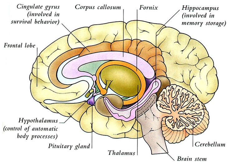 Parts Of The Brain Thalamus - Health, Medicine and Anatomy Reference Pictures
