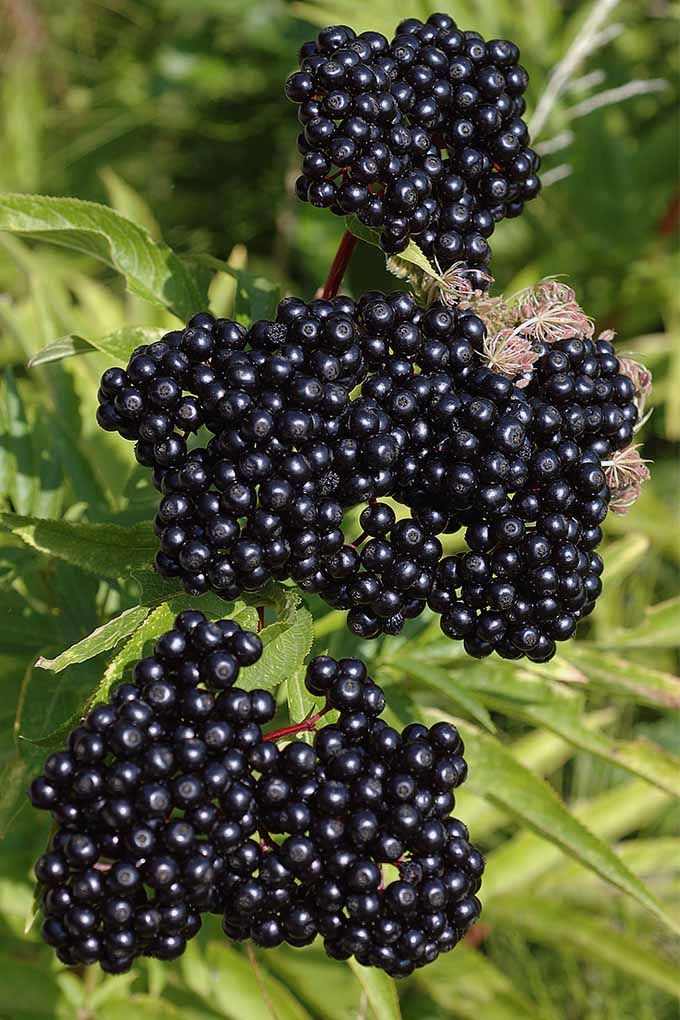 Gardener's Path offers expert advice about growing elderberry bushes in your own yard: https://gardenerspath.com/plants/fruit/grow-elderberries/