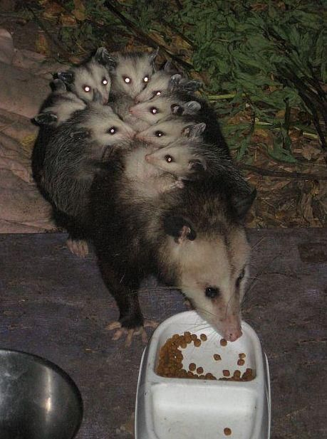 At birth, newborn opossums are so tiny that an entire litter, consisting of up to 14 babies, can fit into a single teaspoon. They are so undeveloped that it's impossible for them to survive outside the mother. However, their front legs are developed all out of proportion to the rest of their bodies, and are strong enough for the completely blind babies to pull themselves from their birth opening, across the mother's belly, into her pouch