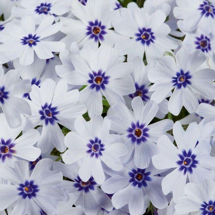 Phlox Pharao Blue Eye 6 Maxi Jungpflanzen In 2020 Pflanzen Tom Garten Bodendecker