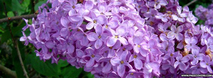 Spring Lilacs Facebook Cover