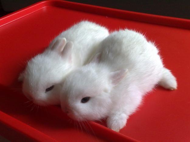 Twin Netherland Dwarf Baby Bunnies