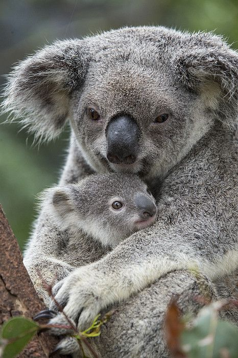 Koala mother holding joey~Australia, by Suzi Eszterhas