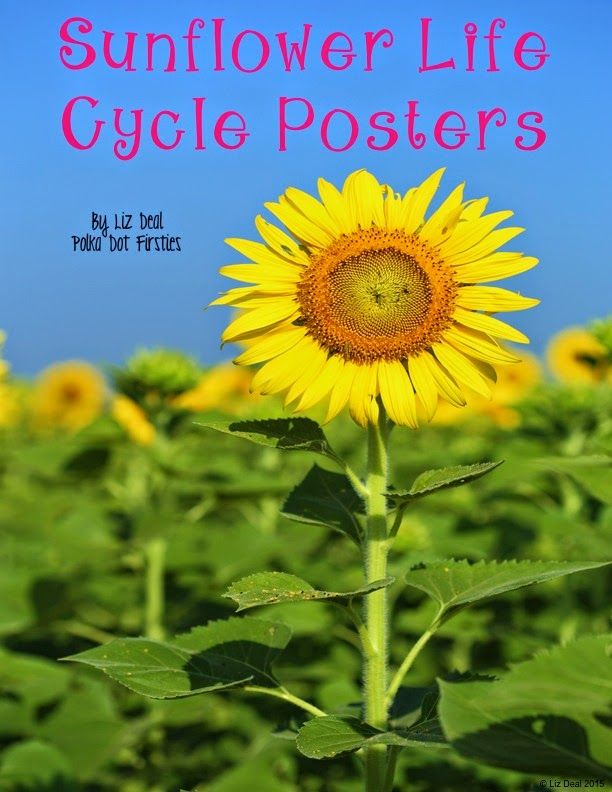 Sunflower Life Cycle Posters