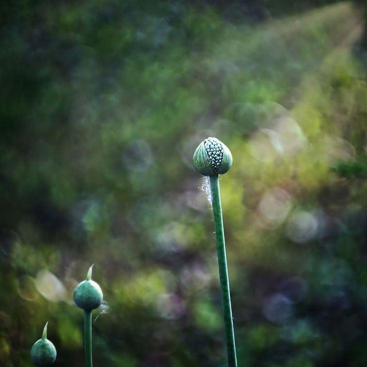 Lights giving life #bokeh #nature #flower #sunshine #storm #naturephotgraphy #bokehphotography #m42  #natureworldig #helioslens