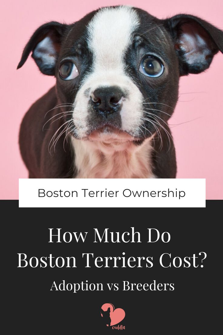 How much do boston terriers cost adoption vs breeders in