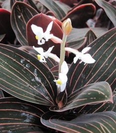 Jewel Orchid - one of my all time favorites