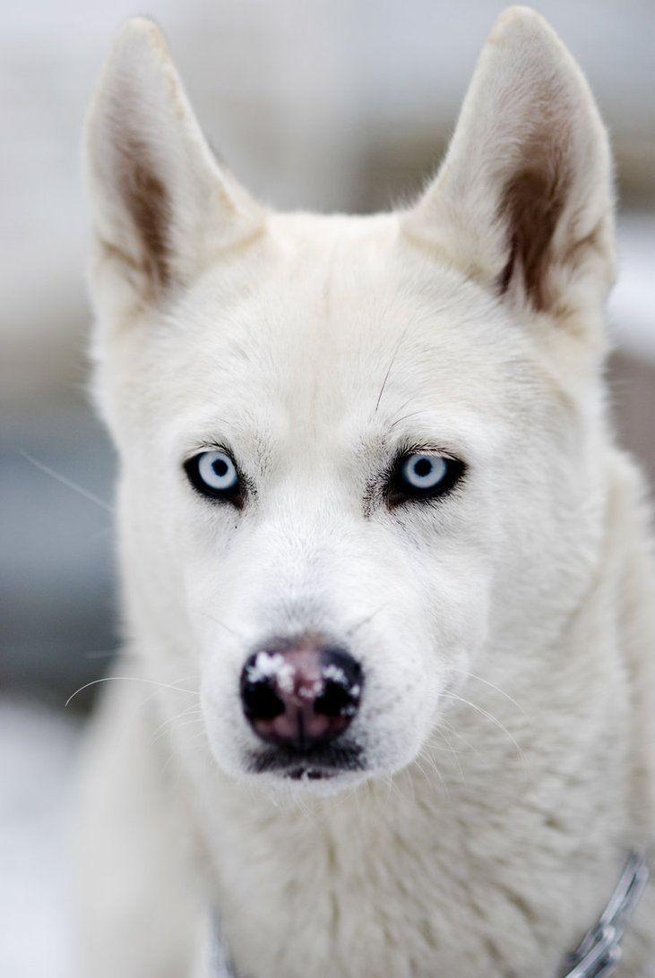 White Siberian Husky Puppies 25+ best ideas ...