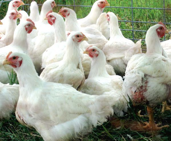 Beginners Guide on Starting a Profitable Poultry Farm Business in Nigeria, lucrative poultry farming business, cost of starting a poultry farming in Nigeria