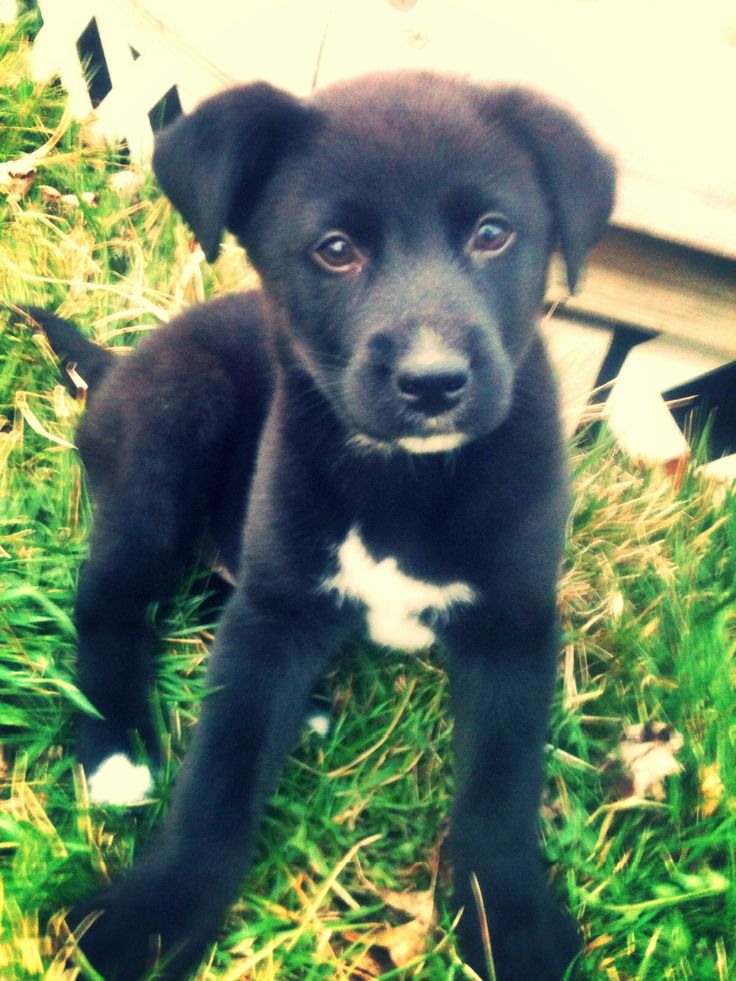 Lab and German Shepard mix puppy