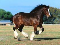 Galope del caballo de Shire