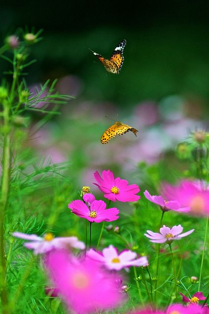 Cosmos field rendezvous by shinichiro*, via Flickr