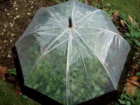 Clear umbrella used as garden cloche to protect seedlings.