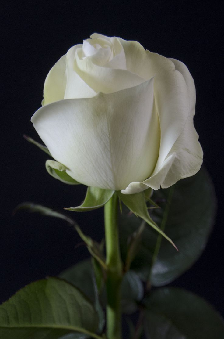 86 best Among the thorns there grows a Rose images on ...  |Beautiful White Rose Flowers