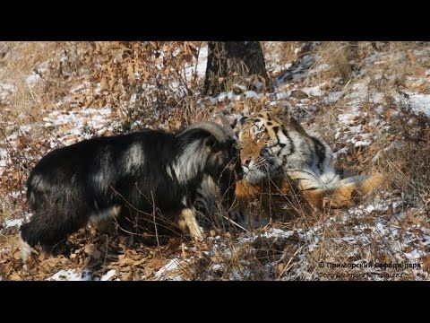 New UNUSUAL FRIENDSHIP GOAT AND TIGER (Video shot from 5 to 13 December 2015) - YouTube