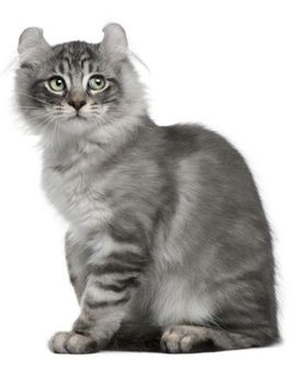 American Curl cat breeds - #americancurl #catbreeds #typesofcats - More Type Of Cats at Catsincare.com!
