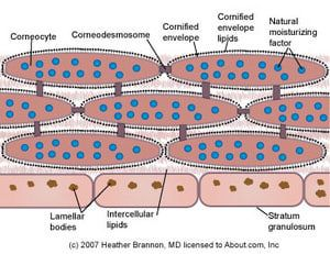 The stratum corneum is the outermost of the 5 layers of the epidermis and is largely responsible for the vital barrier function of the skin.  These illustrations will take you through the important components of the stratum corneum that perform this complex barrier function.