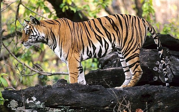 Tiger tourism ban criticised
