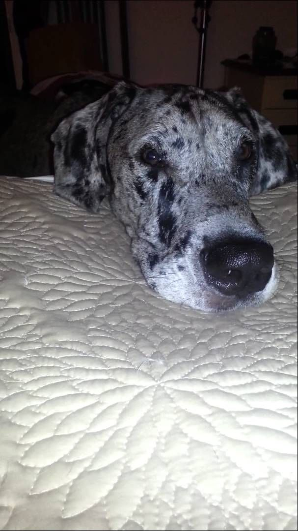 1000 Ideas About Great Dane Bed On Pinterest Great