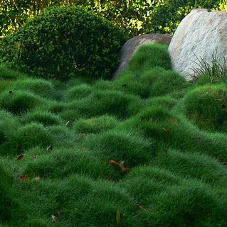 Korean Velvet Grass (Zoysia tenuifolia) - makes a great no-mow groundcover to replace the lawn. I may roll around in it? YES PLEASE!
