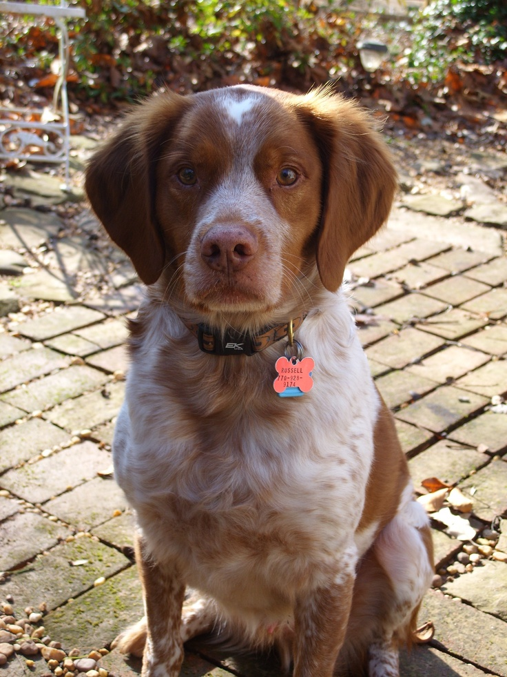 My dog, Russell! (Brittany Spaniel rescue)