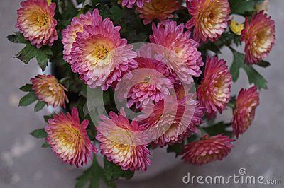 Beautiful bouquet of pink with yellow chrysanthemums