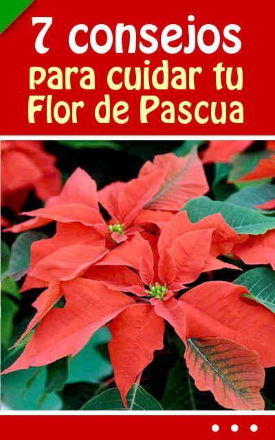 7 Consejos Para Cuidar Tu Flor De Pascua Cultivos Y Plantas
