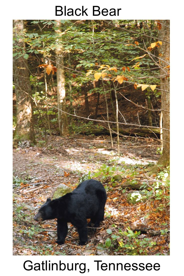 One of the most exciting things to see in the Smokies is a black bear! Cades Cove is a great place to view these majestic creatures from the safety of the inside of your vehicle. #blackbear