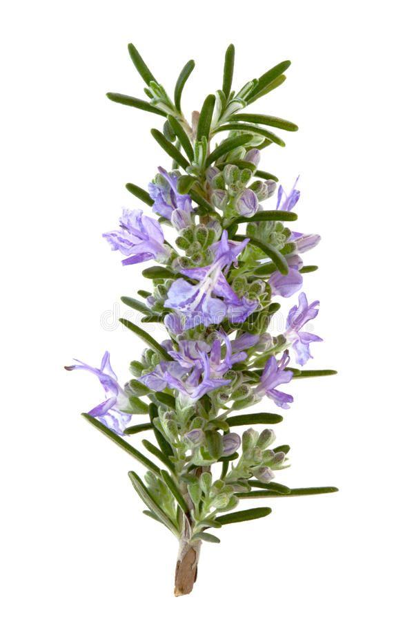 Rosemary Herb Flowers Stock Photos Rosemary Herb Rosemary Flower Rosemary Plant
