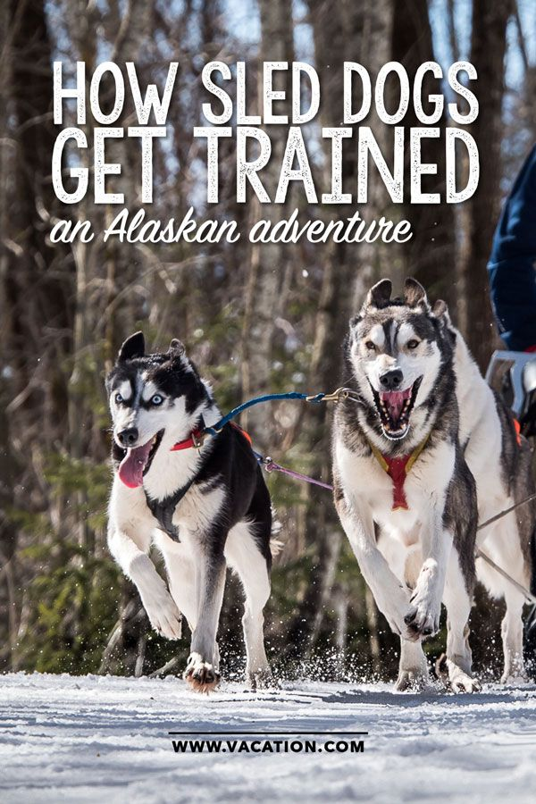 How do sled dogs get trained? What to know before your Alaskan adventure