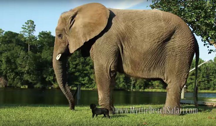4トン象がお友達保護されたアフリカゾウと友情を育むラブラドール