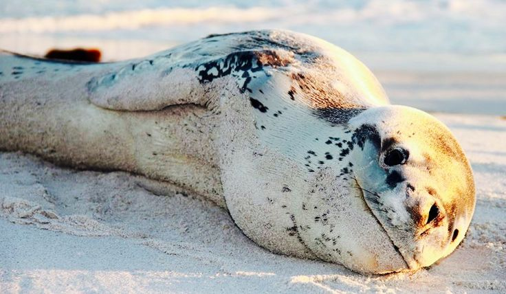 Baby Leopard Seal | LETHAL LEOPARD SEALS | Baby leopard ...