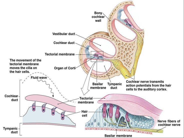 Anatomy Of Ear And Vestibular Membrane