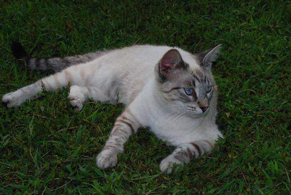 This Is Ming A Lovely Siamese Tabby Cat Cross I Just Love This