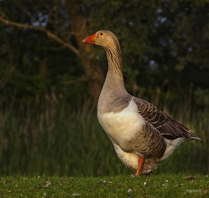 moeder gans / goose / gander