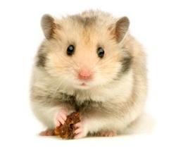 ASPCA   Hamster Care