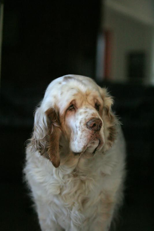 The Clumber Spaniel comes from France but was developed in England and was bred originally to hunt small game - bird flushing and retrieving.