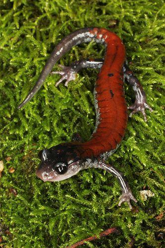 ˚Yonahlossee Salamander