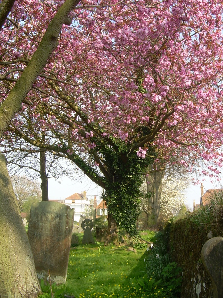 Winchelsea, East Sussex, England~Beautiful tree in old cemetery, across from the pub...great pub lunch, too!